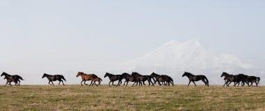 Flocken av hästar på en sommar betar Arkivbild