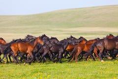 Flocken av hästar på en sommar betar. Arkivfoto