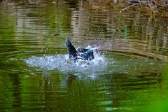 Flocken av hemhjälpen duckar simning i avkrokarna Royaltyfri Fotografi