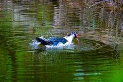 Flocken av hemhjälpen duckar simning i avkrokarna Royaltyfria Foton