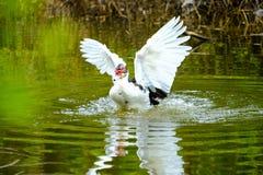 Flocken av hemhjälpen duckar simning i avkrokarna Royaltyfria Bilder