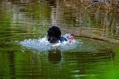 Flocken av hemhjälpen duckar simning i avkrokarna Royaltyfri Foto