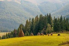 Flocken av kor som betar på det nya gröna berget, betar, Carpathians fotografering för bildbyråer