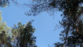Flocken av kranfågelflyget i cirklar på himlen ovanför sörjer flyttning för fågel för trädskoghöst lager videofilmer
