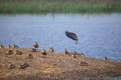 Flocken av lesser vissla duckar i den Keoladeo Ghana nationalparken, royaltyfri bild