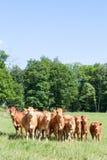Flocken av nyfiket ungt Limousin nötkreatur i en vår betar lookin arkivbild