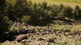 Flocken av RAM betar på bergängen, Altai, Ryssland lager videofilmer