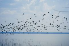 Flocken av seagulls flyger över havet på bakgrund av blå himmel Royaltyfria Foton