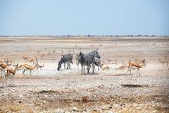 Flocken av sebror och springbockantilop dricker vatten från att torka ut sjön på vitt Etosha pannaland, Namibia, sydliga Afrika royaltyfria foton