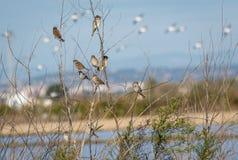 Flocken av sparvar som sitter på Bush i det naturligt, parkerar av Albufera, Valencia, Spanien royaltyfri foto