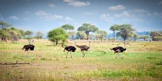 Flocken av strutsar stöter ihop med den tanzaniska savannet Royaltyfri Bild