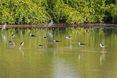 Flocken av svart påskyndade styltan, den gemensamma styltan, Pied styltavadarefågel Arkivfoto