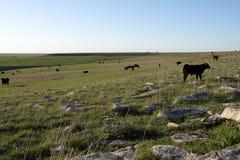 Flocken av svart skrämmer att beta i öppen grässlätt arkivfoto