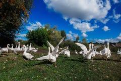 Flocken av vit gäss kör för det blekte gräset Arkivbilder