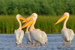Flocken av vita pelikan vilar i mjukt aftonljus Royaltyfria Bilder