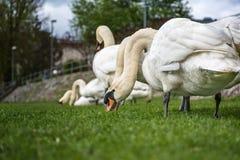 Flocken av vita svanar är äta och avslappnande på de gröna grasna Fotografering för Bildbyråer