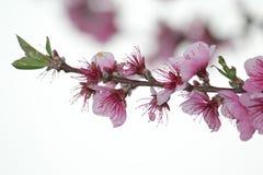 Flockenblume Стоковые Фото