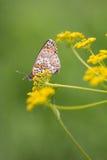 Flockenblume Fritillary-Schmetterling Lizenzfreie Stockbilder