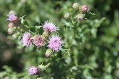 Flockenblumen-schädliches Unkraut in der Blüte Stockfotografie
