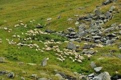 Flockfår i de Carpathians bergen Royaltyfria Bilder