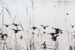 Flockflygänder Royaltyfria Foton