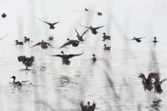 Flockflygänder Royaltyfri Fotografi