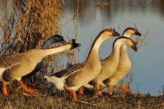 flockgäss Royaltyfria Foton