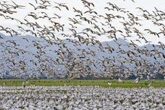 flockgäss som migrating snow Royaltyfri Fotografi
