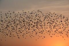 FLOCKING BEHAVIOR IN BIRDS bikaner. FLOCKING BEHAVIOR IN BIRDS Royalty Free Stock Photos