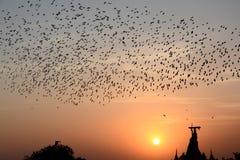 FLOCKING BEHAVIOR IN BIRDS Bikaner Rajasthan. FLOCKING BEHAVIOR IN BIRDS Royalty Free Stock Image