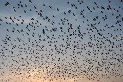 FLOCKING BEHAVIOR IN BIRDS Bikaner Rajasthan. FLOCKING BEHAVIOR IN BIRDS Royalty Free Stock Photography