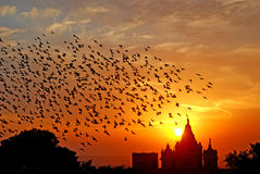 Flocking behavior of Birds. Flocking behavior is the behavior exhibited when a group of birds, called a flock, are foraging or in flight. There are parallels Royalty Free Stock Image