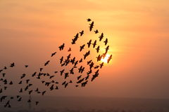 Flocking behavior of Starlings Birds in Bikaner. Flocking behavior is the behavior exhibited when a group of birds, called a flock, are foraging or in flight Stock Photography