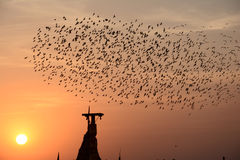 Flocking behavior of Starlings Birds in Bikaner. Flocking behavior is the behavior exhibited when a group of birds, called a flock, are foraging or in flight Royalty Free Stock Photos