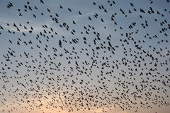 Flocking behavior of Starlings Birds in Bikaner Royalty Free Stock Photography