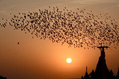 Flocking behavior of Starlings Birds in Bikaner. Flocking behavior is the behavior exhibited when a group of birds, called a flock, are foraging or in flight Stock Images