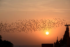 Flocking behavior of Starlings Birds in Bikaner. Flocking behavior is the behavior exhibited when a group of birds, called a flock, are foraging or in flight Stock Image