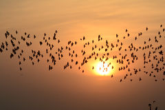 FLOCKING BIRDS IN EVENING SKY BIKANER rajasthan. Flocking behavior is the behavior exhibited when a group of birds, called a flock, are foraging or in flight Stock Image