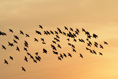 FLOCKING BIRDS IN EVENING SKY BIKANER. EVENING SHINE BEAUTY WITH SCATTERS CLOUDS COOL AND CALM DESERT EVENING SILHOUETTE IN CONTEXT WITH STARLING BIRDS FLOCKING Royalty Free Stock Images