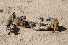 Flockmeerkats som spelar i sanden Royaltyfri Foto