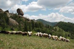 flockmongolian royaltyfri fotografi
