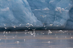 A flock of Kittiwakes Stock Photography