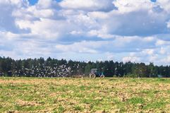 A tractor plows the field on a Sunny day. Rural spring landscape. Flocks of birds follow directly behind a tractor, plowing the field. They find countless worms Royalty Free Stock Photos