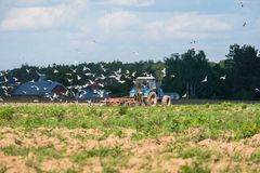 A tractor plows the field on a bright Sunny day. Rural spring landscape. Flocks of birds follow directly behind a tractor, plowing the field. They find Royalty Free Stock Images