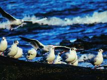 Flocks royalty free stock image