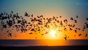 Flocks of birds over the ocean during an amazing sunset. Nature. Flocks of birds over the ocean during an amazing sunset Royalty Free Stock Photos