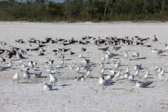 Flocks of birds Royalty Free Stock Image