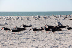 Flocks of birds Stock Photography