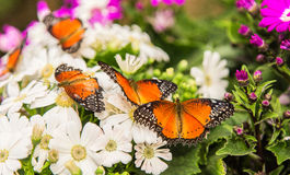 Flocks of butterflies Royalty Free Stock Image