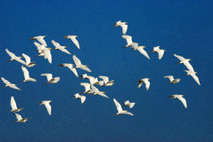 Flocks of cattle egrets in flight Stock Photos